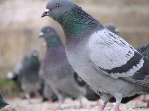 piccioni-viaggiatori